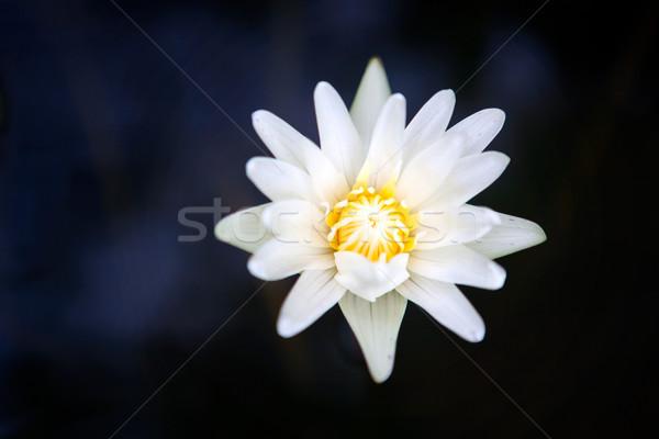 Beautiful white lotus in the pond Stock photo © luckyraccoon