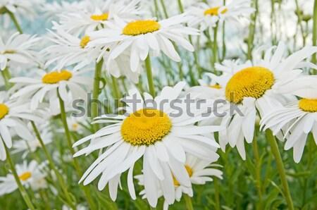 daisy flower Stock photo © luiscar
