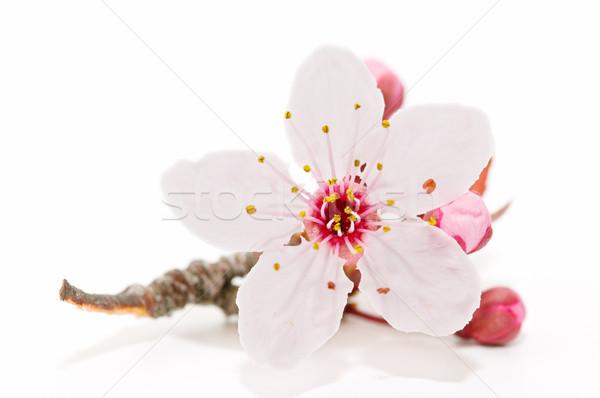 Stok fotoğraf: Meyve · ağacı · çiçek · çiçek · beyaz · ağaç · arka · plan