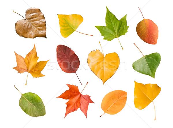 Temporadas folhas coleção isolado branco Foto stock © luiscar