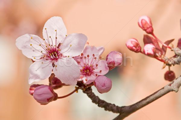 árvore frutífera flor flor primavera árvore fundo Foto stock © luiscar