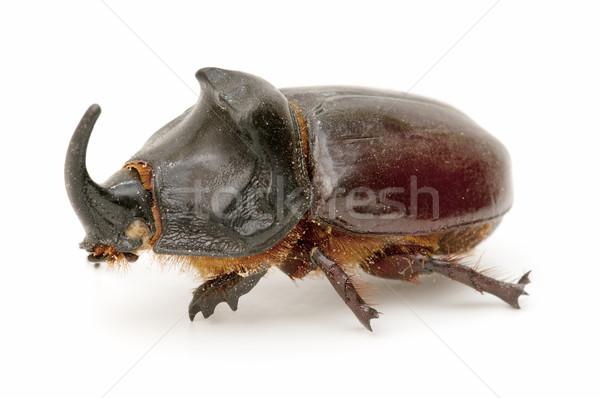 rhinoceros beetle Stock photo © luiscar
