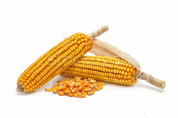 Kukurydza świeże działalności roślin biały rolnictwa Zdjęcia stock © luiscar