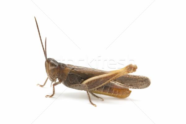 Gafanhoto isolado branco inseto macro Foto stock © luiscar