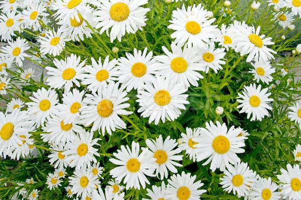 Daisy stokrotki dziedzinie wiosną kwiat Zdjęcia stock © luiscar