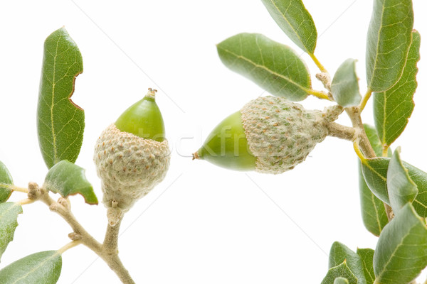 Carvalho verde isolado branco árvore comida Foto stock © luiscar