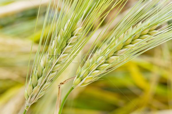 Cereal campo orelhas milho verão verde Foto stock © luiscar
