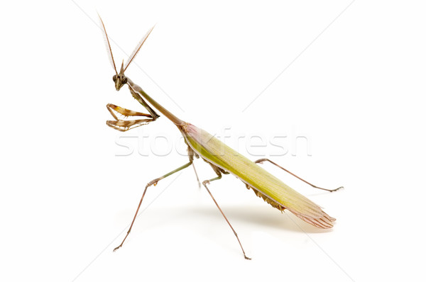 praying mantis Stock photo © luiscar