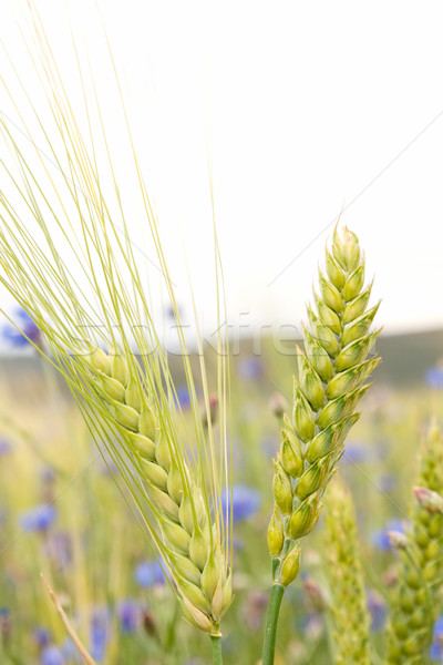 Cereales campo orejas maíz verano verde Foto stock © luiscar