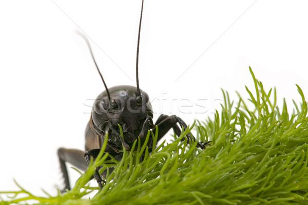 Macro cricket blanche nature nuit satellite Photo stock © luiscar