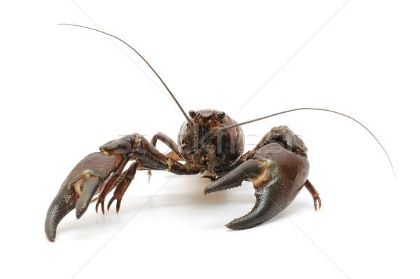 Rio caranguejo isolado branco comida natureza Foto stock © luiscar