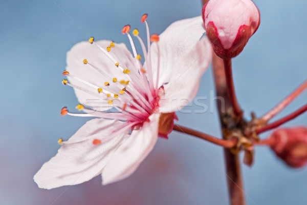 Gyümölcsfa virág virág tavasz fa háttér Stock fotó © luiscar
