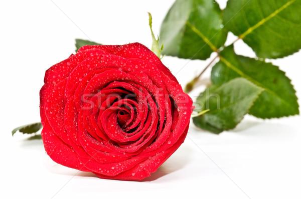 Rosa vermelha isolado branco amor fundo rosas Foto stock © luiscar