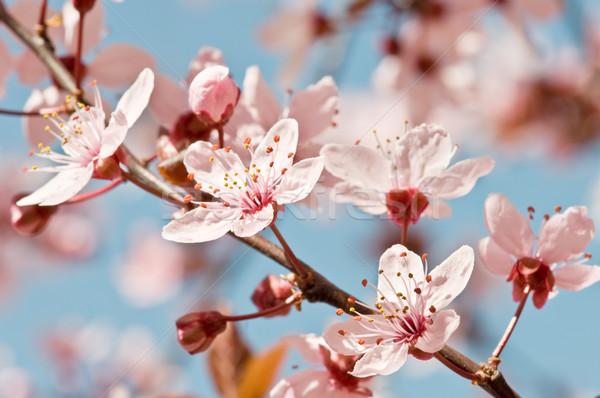 Drzewa owocowe kwiat kwiat wiosną drzewo tle Zdjęcia stock © luiscar