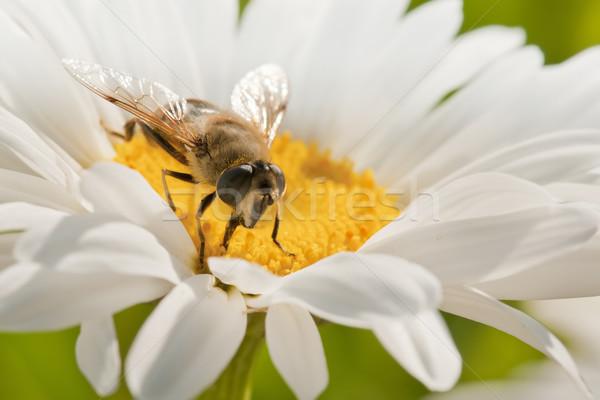 Pszczoła kwiat pyłek wiosną ogród Daisy Zdjęcia stock © luiscar