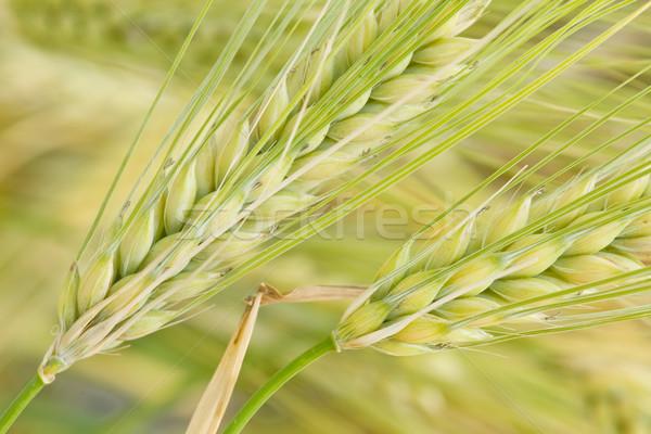 Céréales domaine oreilles maïs été vert Photo stock © luiscar