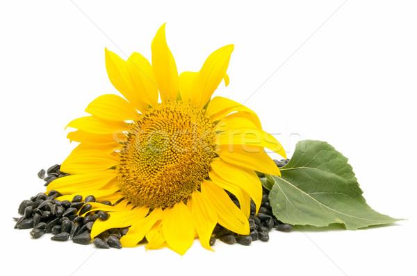 Olej słonecznikowy słonecznika biały słońce tle pozostawia Zdjęcia stock © luiscar