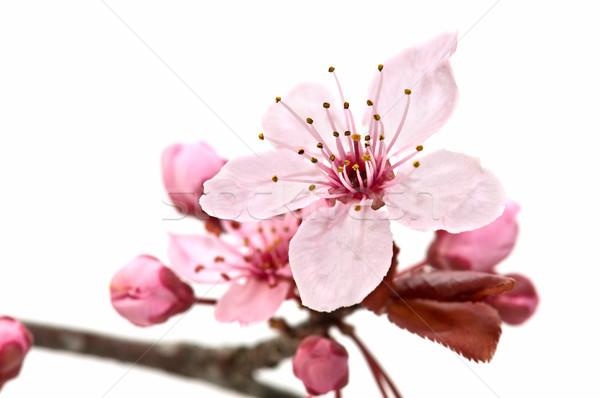 Gyümölcsfa virág virág fehér fa háttér Stock fotó © luiscar
