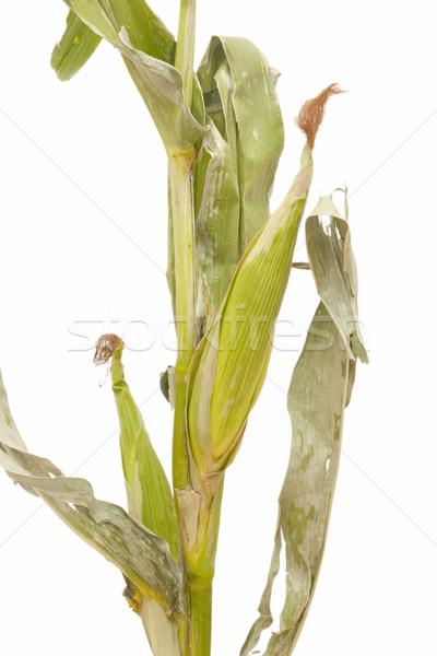 corn stalks Stock photo © luiscar