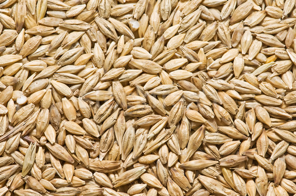 freshly harvested barley Stock photo © luiscar