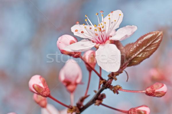 Meyve ağacı çiçek çiçek bahar ağaç arka plan Stok fotoğraf © luiscar