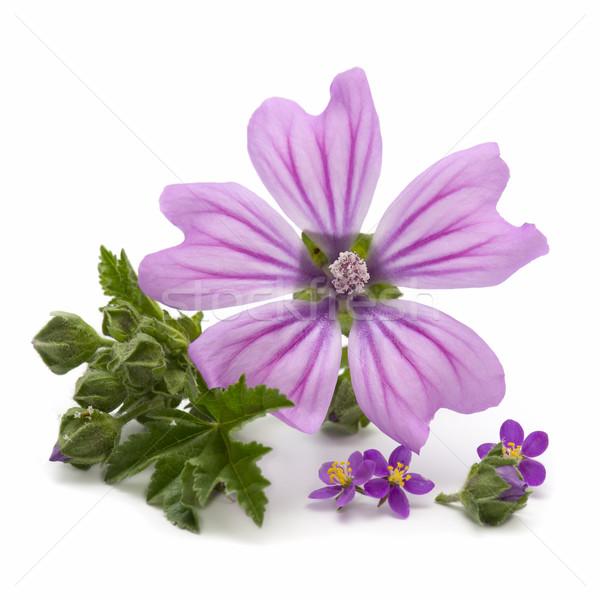 Flor flores branco grama verão Foto stock © luiscar
