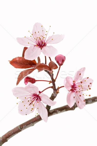 Drzewa owocowe kwiat kwiat biały drzewo tle Zdjęcia stock © luiscar