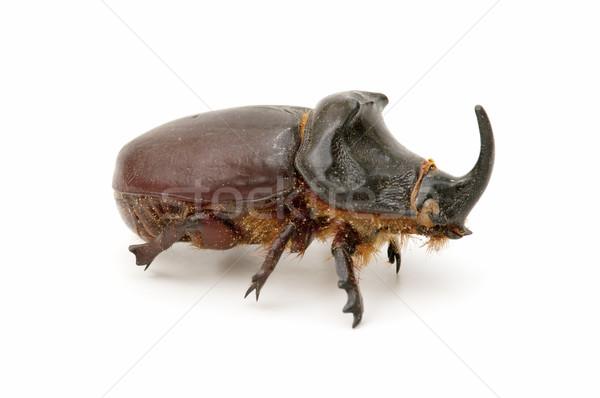 Rinoceronte besouro isolado branco natureza Foto stock © luiscar