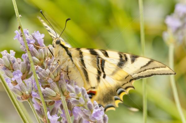 Papillon domaine sauvage fleurs jardin printemps Photo stock © luiscar