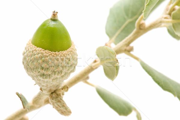 дуб зеленый изолированный белый дерево продовольствие Сток-фото © luiscar