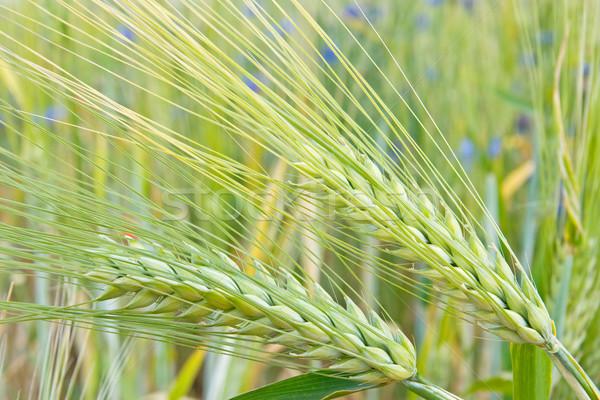 Zdjęcia stock: Zbóż · dziedzinie · kłosie · kukurydza · lata · zielone