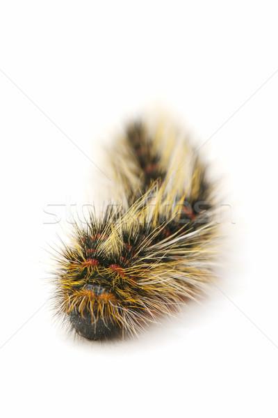 毛むくじゃらの 虫 閉店 白 自然 色 ストックフォト © luiscar