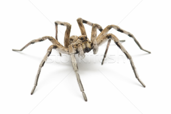 tarantula wolf Stock photo © luiscar