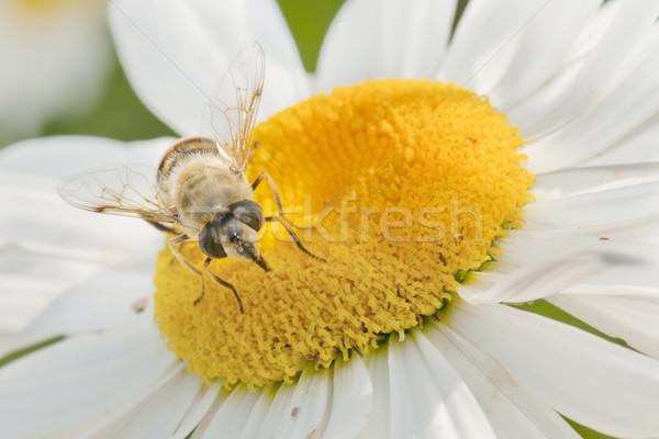 Abeille fleur pollen printemps jardin Daisy Photo stock © luiscar