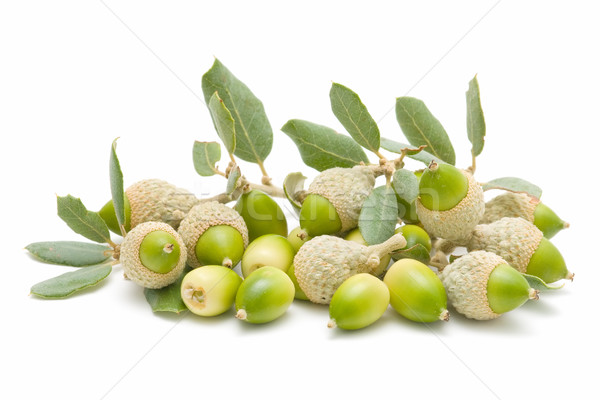 Foto stock: Carvalho · verde · isolado · branco · árvore · comida