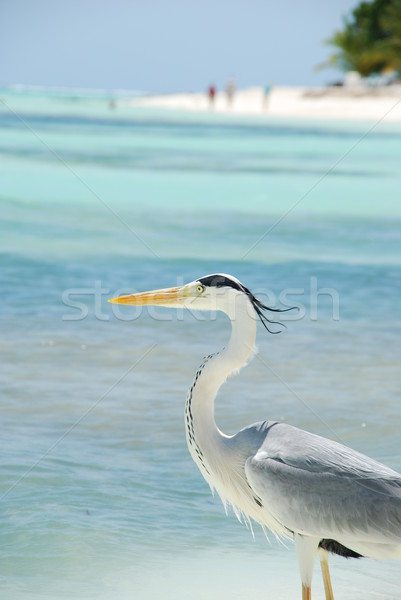 Closeup of a Heron on a maldivian island Stock photo © luissantos84