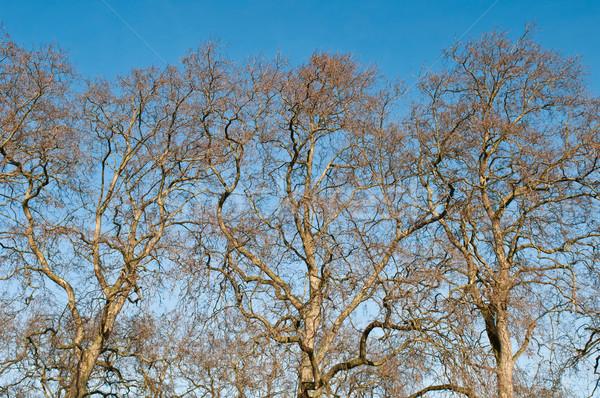 Drzew bezlistny ogrody Londyn Anglii niebo Zdjęcia stock © luissantos84