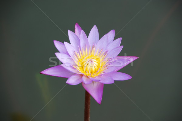 Beautiful purple waterlily in a pond Stock photo © luissantos84
