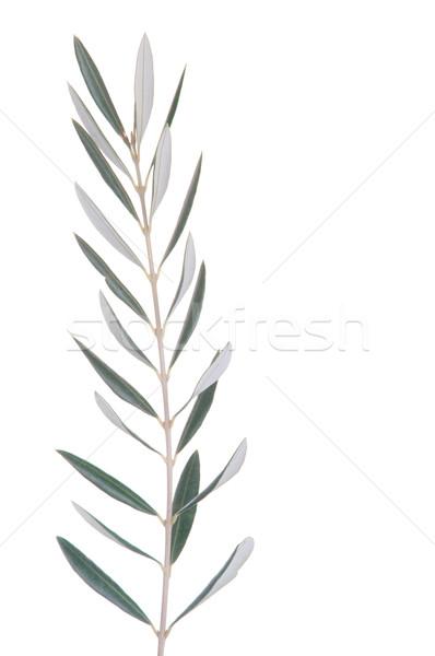 Olajfa ág zöld izolált fehér nyár Stock fotó © luissantos84