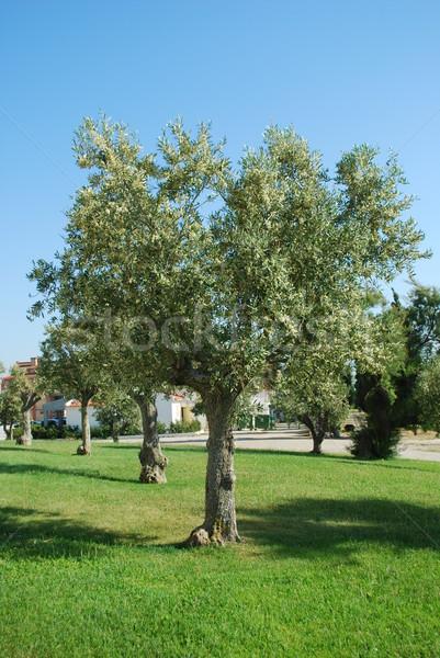 Portuguese olive tree Stock photo © luissantos84