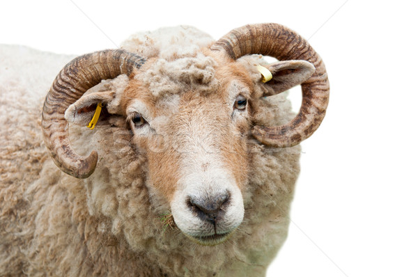 Sheep with horns Stock photo © luissantos84