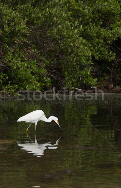 цапля белый птица тропические озеро живая природа Сток-фото © luissantos84