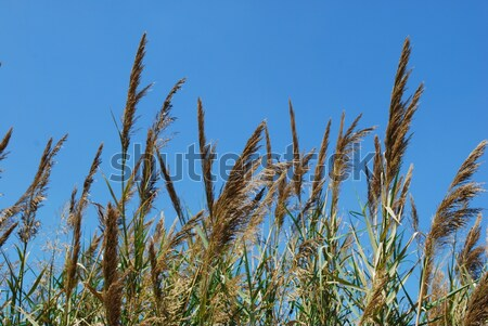 Reed grass on a lake Stock photo © luissantos84