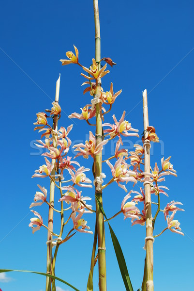 Pink orchid flowers Stock photo © luissantos84
