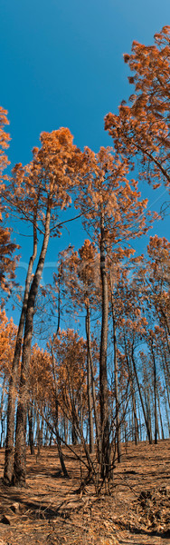 Forest after fire Stock photo © luissantos84