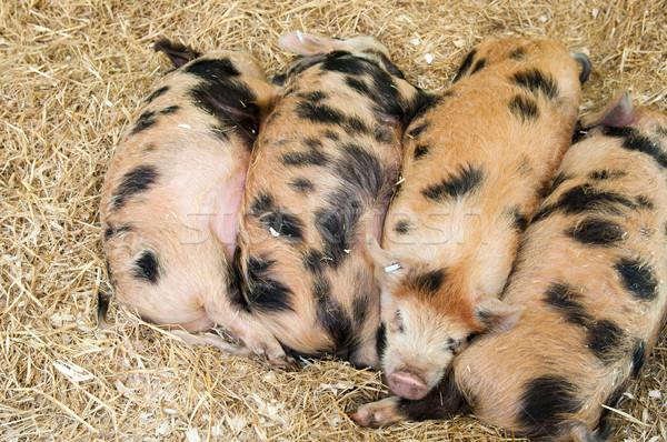 Baby pigs Stock photo © luissantos84
