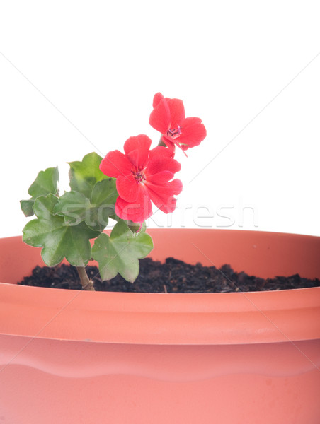Geranium flowers Stock photo © luissantos84