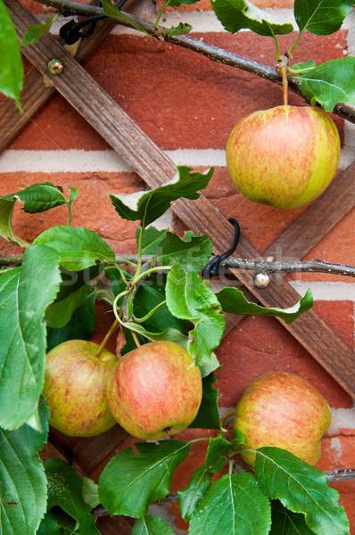 Biologischen Äpfel zunehmend Hinterhof Garten Stock foto © luissantos84