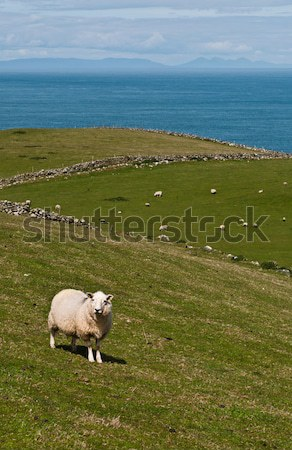 Sheep in field Stock photo © luissantos84