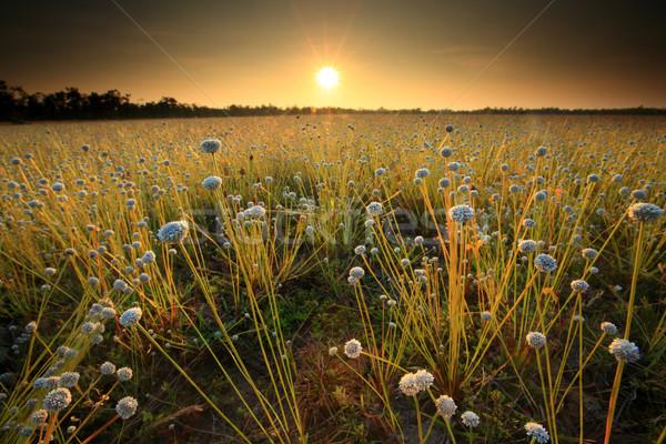 Champ de fleurs coucher du soleil domaine fleurs Thaïlande ciel Photo stock © lukchai